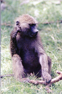 Baboon Thinking