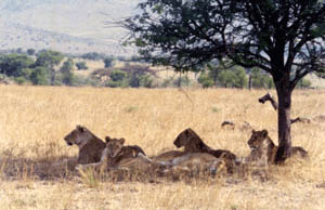lions-under-tree.jpg